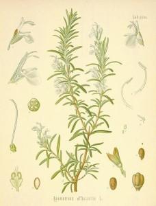 rosemary botanical print