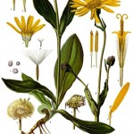 arnica root