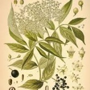 elderflower botanical print