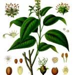 Cascarilla Bark - Croton tiglia