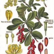 Berberis_vulgaris_L