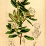 Rhododendron anthopogon botanical print