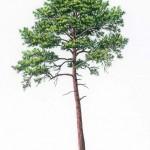 maritime pine botanical image  011