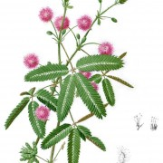 mimosa pudica botanical print
