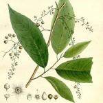 trophis racemosa 0001