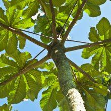 trumpet tree 002