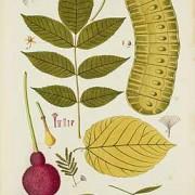 trumpet tree botanical image