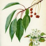 wild cherry bark botanical print