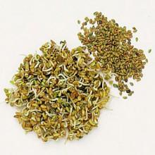 alfafa-seeds-01