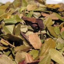 uva ursi leaf