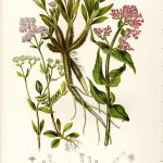 valerian botanical print