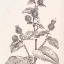 burdock-leaf