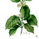 Gymnema Botanical