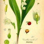 lily-of-the-valley-1