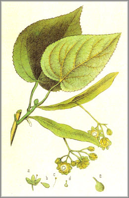 lime-flowers