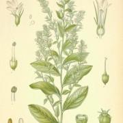 lobelia herb