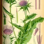 milk-thistle-herb