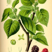 Black Mulberry Leaf