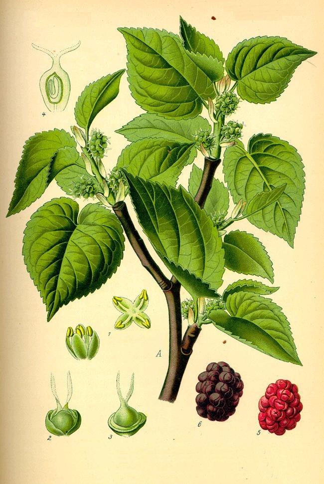 Black Mulberry Leaf