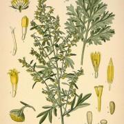 artemisia absinthium botanical print