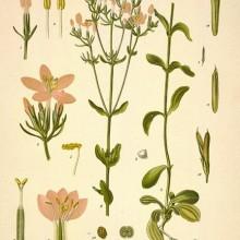 centaury-herb