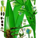 cardamom botanical print