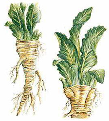 horseradish-powder1