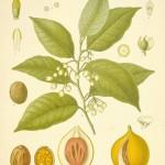 Mace botanical print