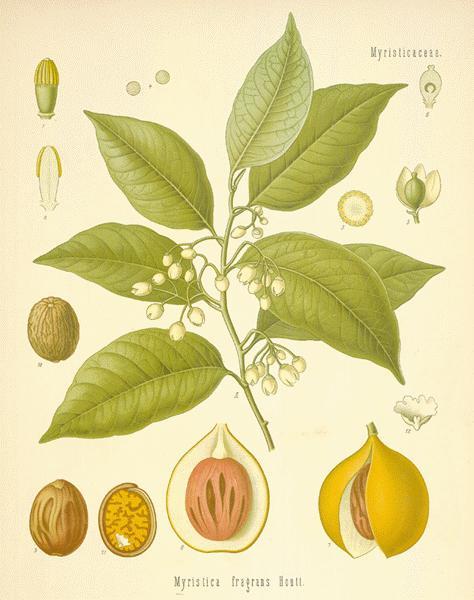Mace Blades Whole - Myristica fragrans