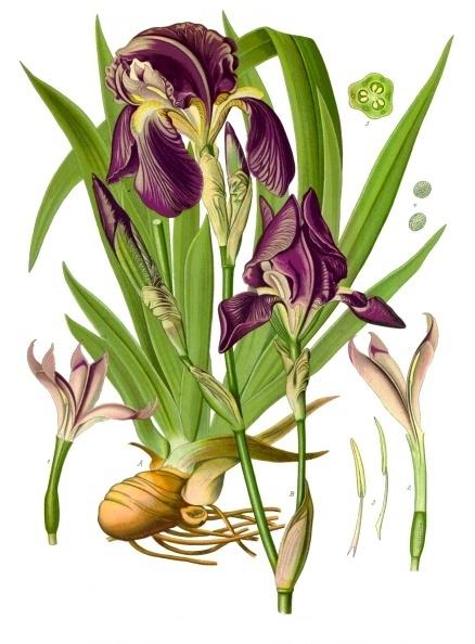 Orris Root Whole Iris Florentina Luminescents