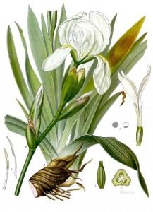 orris root germanica botanical print