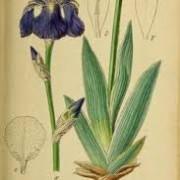 orris root iris pallida
